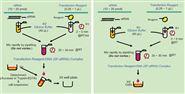 ScreenFect™ siRNA转染试剂