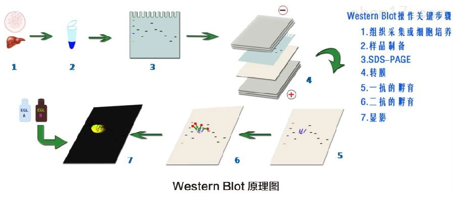 use of sds page western blot techniques as Sample buffer - posted in sds-page and western blotting: hi, i have 800 µl of sample buffer stocks (without dtt) stored at -20°c before using i add 25 m dtt and use it.