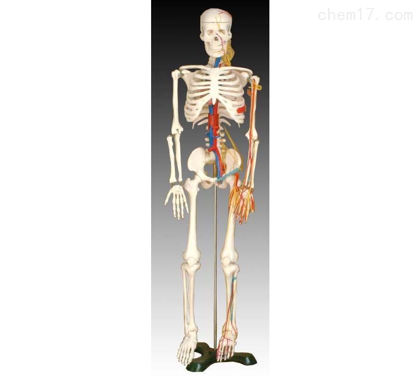 人体骨骼带心脏与血管模型85CM 人体各大器官