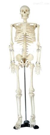 人体骨骼模型85CM 人体各大器官