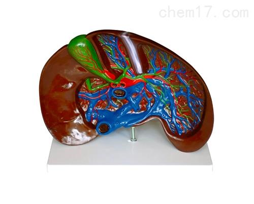 肝解剖(放大)