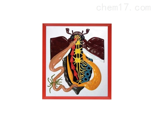 甲壳虫解剖浮雕模型