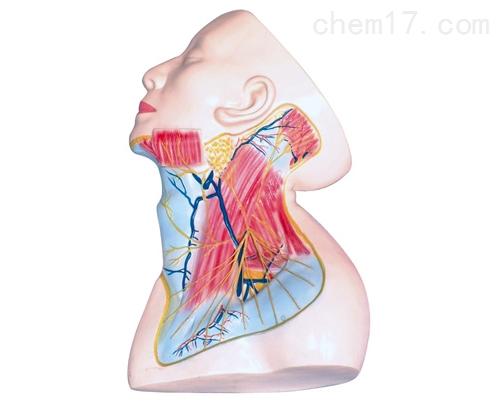 颈部浅层解剖模型