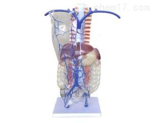 门静脉及侧支循环 解剖模型