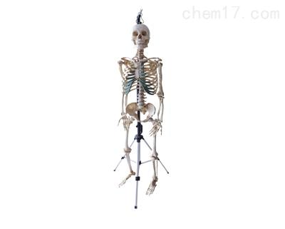 男性全身骨骼模型(真尸)