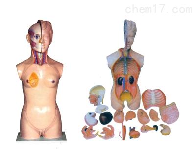 女性头、颈、躯干模型