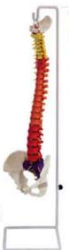 带颜色的可弯曲脊柱解剖模型  教学模型