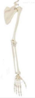 上肢带骨  教学模型