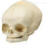 胎儿头颅骨模型 教学模型