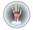 腕关节  教学模型