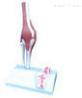 膝关节及韧带附矢状剖面模型  教学模型