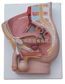 男性矢状解剖模型(2件)|泌尿生殖系统模型