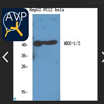 STJ94079Anti-MEK-1/2 antibody