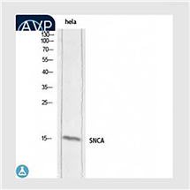 STJ97684Anti-Synuclein-alpha antibody