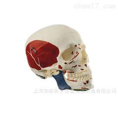 附肌肉头颅骨模型