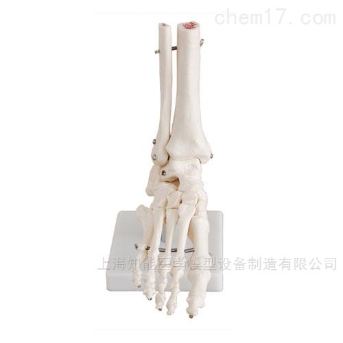 自然大脚关节骨骼模型