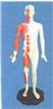 标准针灸穴位模型