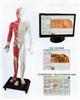MAW-170E上海多媒体人体针灸穴位发光模型