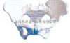 SMD017女性骨盆  教学模型