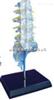 SMD01531透明腰骶尾椎与脊神经模型  教学模型