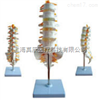 SMD01521腰骶椎与神经模型 教学模型