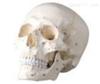 SMD00611头颅骨模型附号签 教学模型