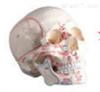 SMD00612头颅骨模型附肌肉标记  教学模型