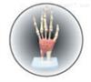 SMD0253腕关节  教学模型